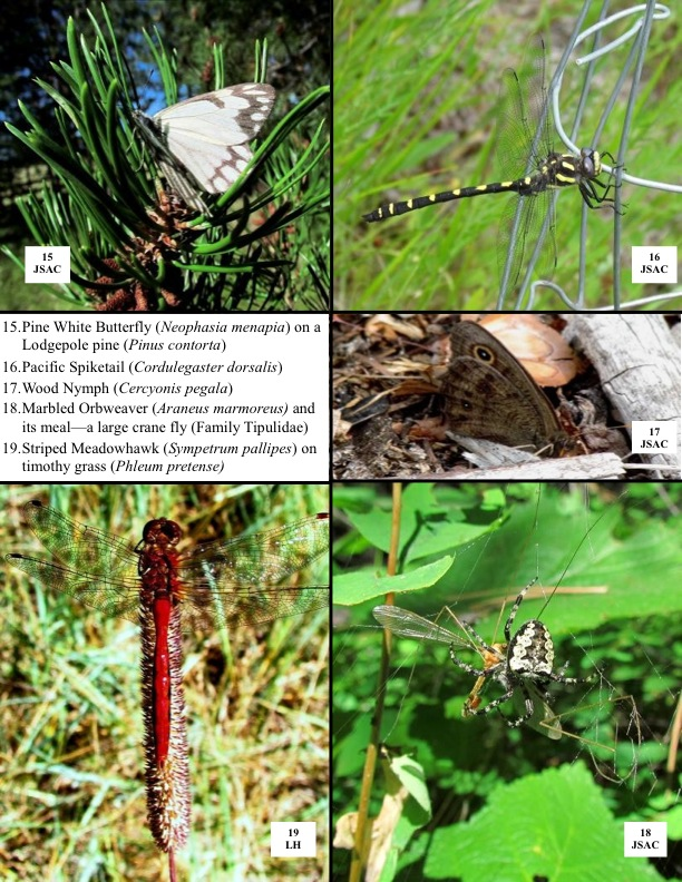 15.Pine White Butterfly (Neophasia menapia) on a Lodgepole pine (Pinus contorta) 16.Pacific Spiketail (Cordulegaster dorsalis) 17.Wood Nymph (Cercyonis pegala) 18.Marbled Orbweaver (Araneus marmoreus) and its meal—a large crane fly (Family Tipulidae) 19.Striped Meadowhawk (Sympetrum pallipes) on timothy grass (Phleum pretense)