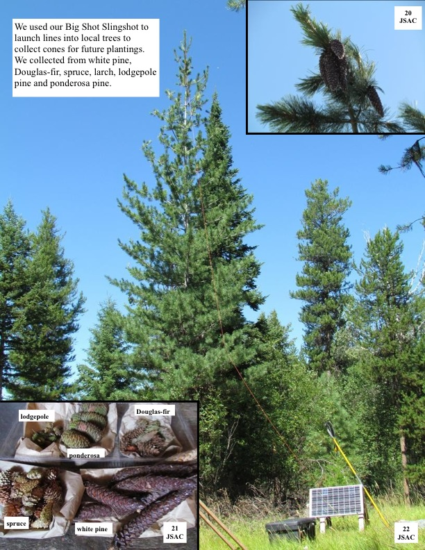 We used our Big Shot Slingshot to launch lines into local trees to collect cones for future plantings. We collected from white pine, Douglas-fir, spruce, larch, lodgepole pine and ponderosa pine.