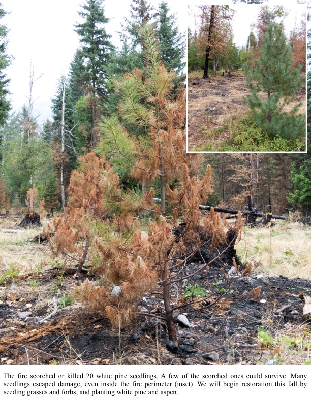 The fire scorched or killed 20 white pine seedlings. A few of the scorched ones could survive. Many seedlings escaped damage, even inside the fire perimeter (inset).