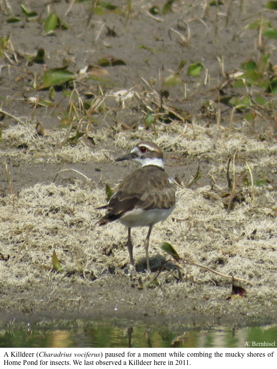 A Killdeer (Charadrius vociferus) paused for a moment while combing the mucky shores of Home Pond for insects.