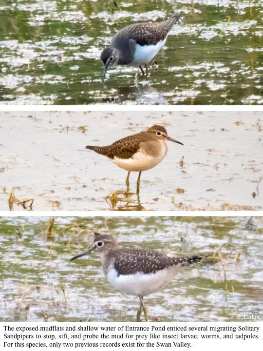 The exposed mudflats and shallow water of Entrance Pond enticed several migrating Solitary Sandpipers to stop, sift, and probe the mud for prey like insect larvae, worms, and tadpoles.