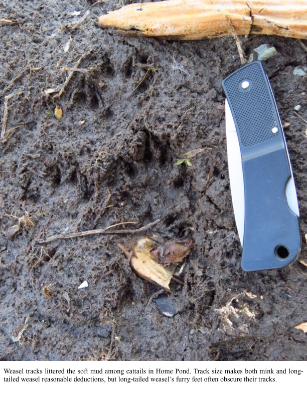 Weasel tracks littered the soft mud among cattails in Home Pond. Track size makes both mink and longtailed weasel reasonable deductions, but long-tailed weasel's furry feet often obscure their tracks.