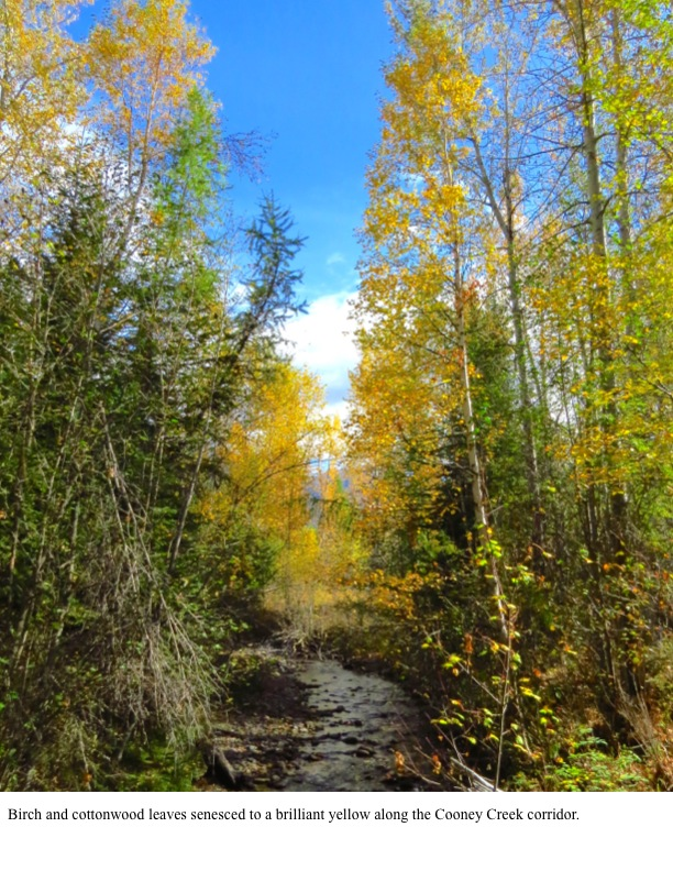 Birch and cottonwood leaves senesced to a brilliant yellow along the Cooney Creek corridor.