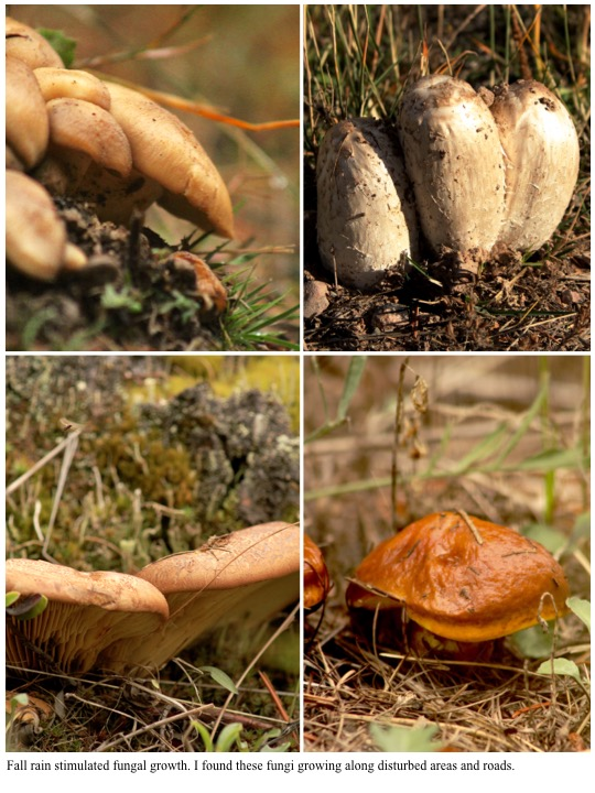 Fall rain stimulated fungal growth. I found these fungi growing along disturbed areas and roads.