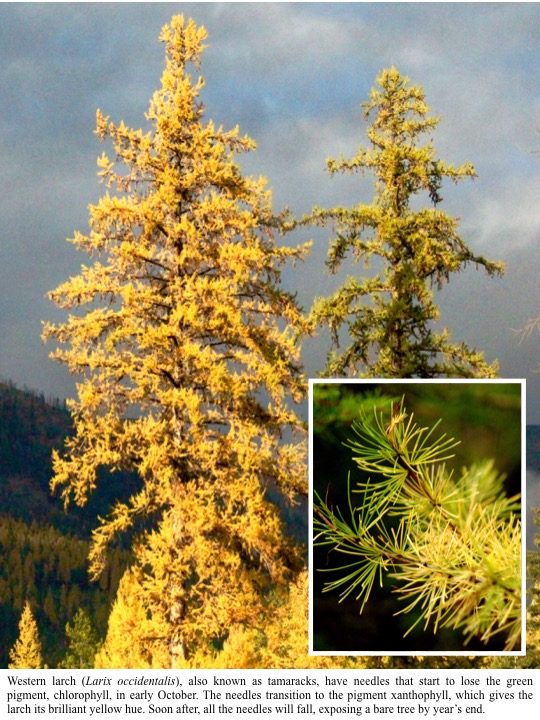 Western larch (Larix occidentalis), also known as tamaracks, have needles that start to lose the green pigment, chlorophyll, in early October. The needles transition to the pigment xanthophyll, which gives the larch its brilliant yellow hue. Soon after, all the needles will fall, exposing a bare tree by year's end.