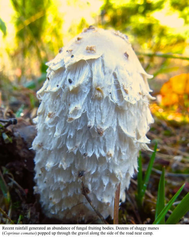 Recent rainfall generated an abundance of fungal fruiting bodies. Dozens of shaggy manes (Coprinus comatus) popped up through the gravel along the side of the road near camp.