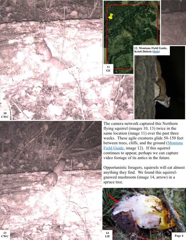 The camera network captured this Northern flying squirrel (images 10, 13) twice in the same location (image 11) over the past three weeks. These agile creatures glide 50-150 feet between trees, cliffs, and the ground (Montana Field Guide, image 12). If this squirrel continues to appear, perhaps we can capture video footage of its antics in the future.