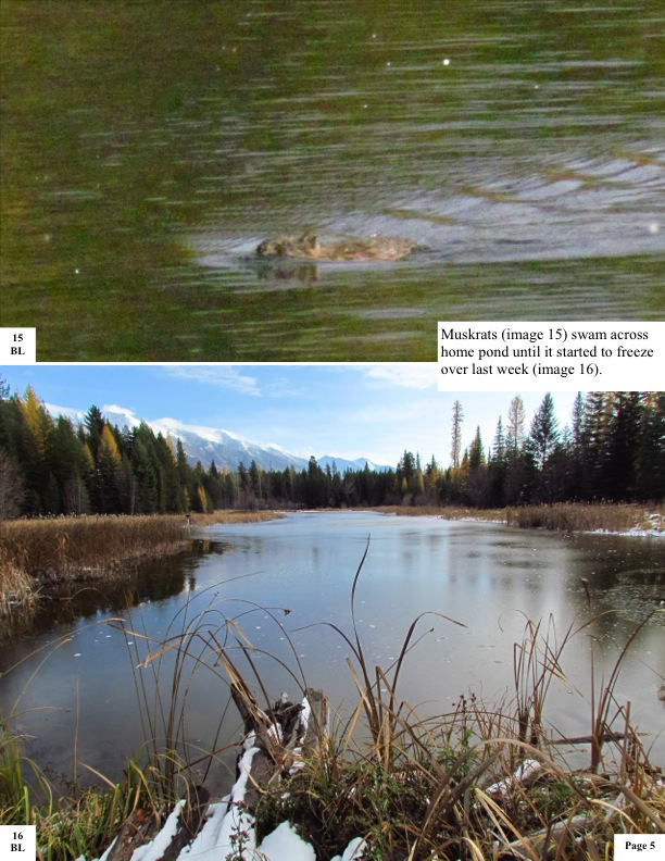 Muskrats (image 15) swam across home pond until it started to freeze over last week (image 16).