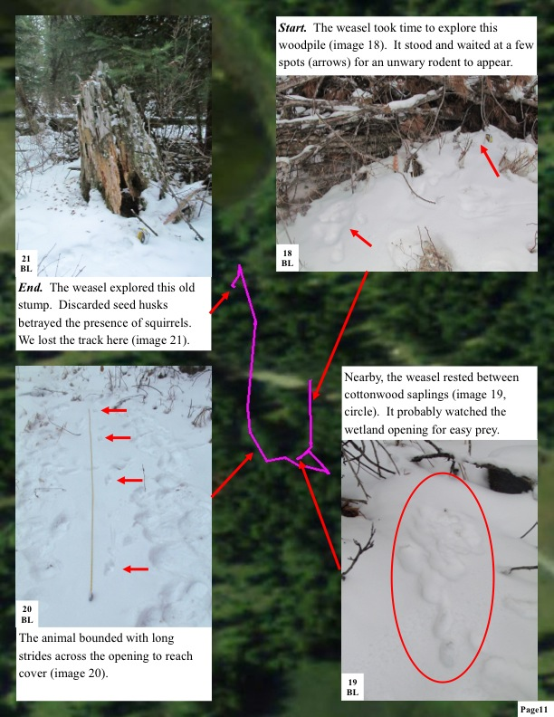 Start. The weasel took time to explore this woodpile (image 18). It stood and waited at a few spots (arrows) for an unwary rodent to appear. End. The weasel explored this old stump. Discarded seed husks betrayed the presence of squirrels. We lost the track here (image 21).