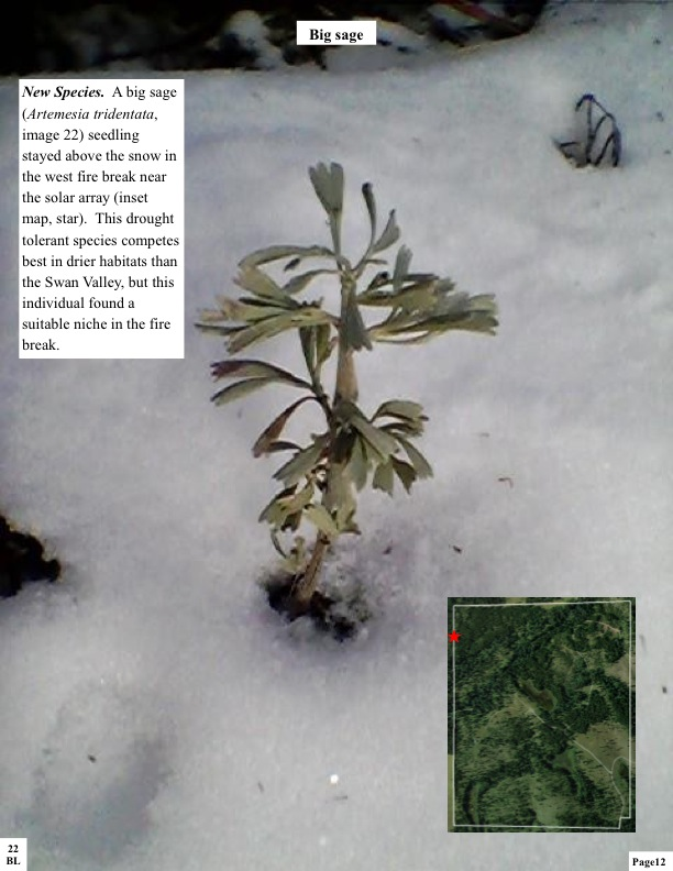 New Species. A big sage (Artemesia tridentata, image 22) seedling stayed above the snow in the west fire break near the solar array (inset map, star). This drought tolerant species competes best in drier habitats than the Swan Valley, but this individual found a suitable niche in the fire break.