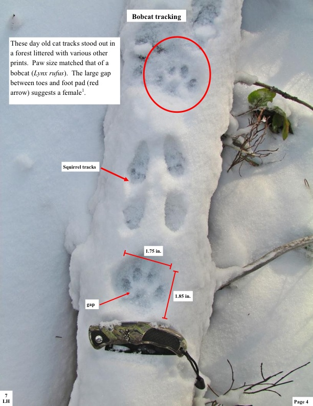 Bobcat tracking. These day old cat tracks stood out in a forest littered with various other prints. Paw size matched that of a bobcat (Lynx rufus). The large gap between toes and foot pad (red arrow) suggests a female1.