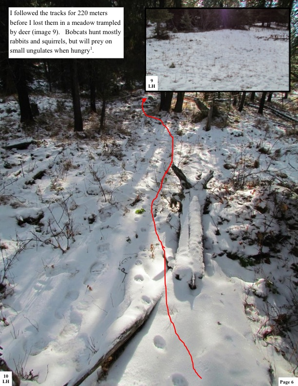 I followed the tracks for 220 meters before I lost them in a meadow trampled by deer (image 9). Bobcats hunt mostly rabbits and squirrels, but will prey on small ungulates when hungry1.