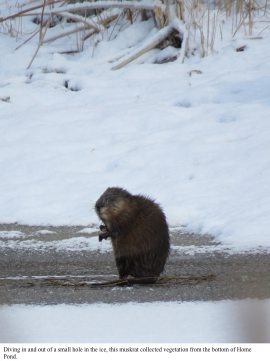 Diving in and out of a small hole in the ice, this muskrat collected vegetation from the bottom of Home Pond.