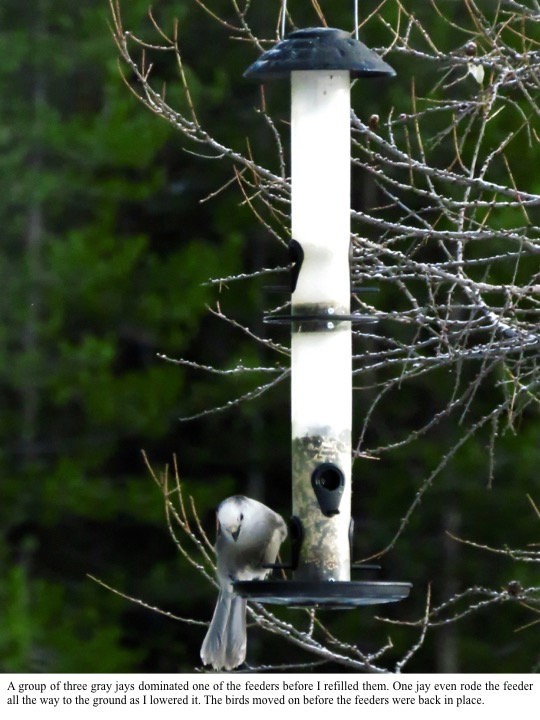 A group of three gray jays dominated one of the feeders before I refilled them. One jay even rode the feeder all the way to the ground as I lowered it. The birds moved on before the feeders were back in place.