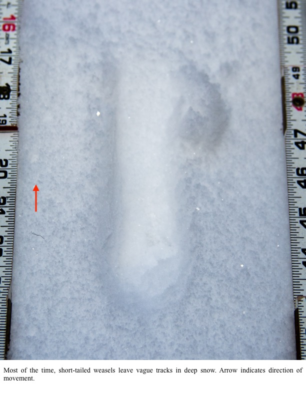 Most of the time, short-tailed weasels leave vague tracks in deep snow. Arrow indicates direction of movement