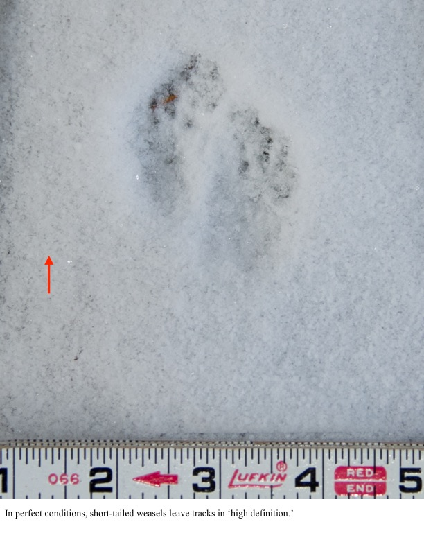 In perfect conditions, short-tailed weasels leave tracks in 'high definition.'