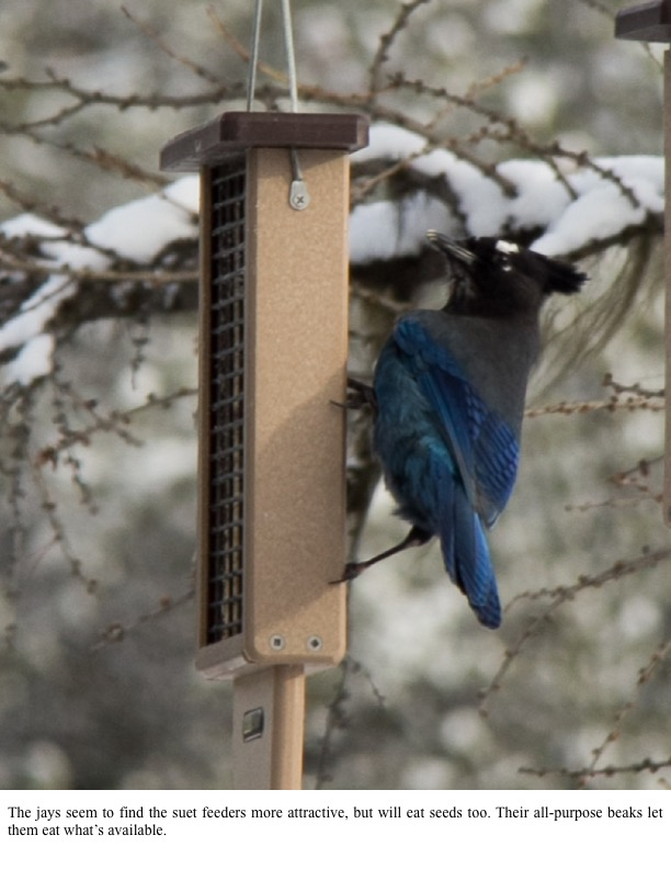 The jays seem to find the suet feeders more attractive, but will eat seeds too. Their all-purpose beaks let them eat what's available.