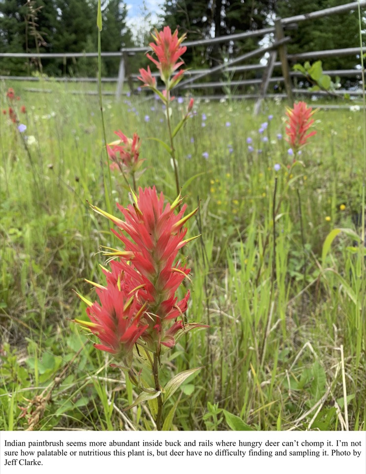 Indian paintbrush seems more abundant inside buck and rails where hungry deer can't chomp it.