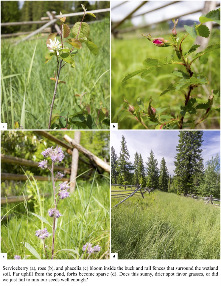 Serviceberry (a), rose (b), and phacelia (c) bloom inside the buck and rail fences that surround the wetland soil.