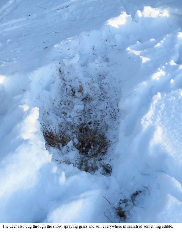The deer also dug through the snow, spraying grass and soil everywhere in search of something edible.