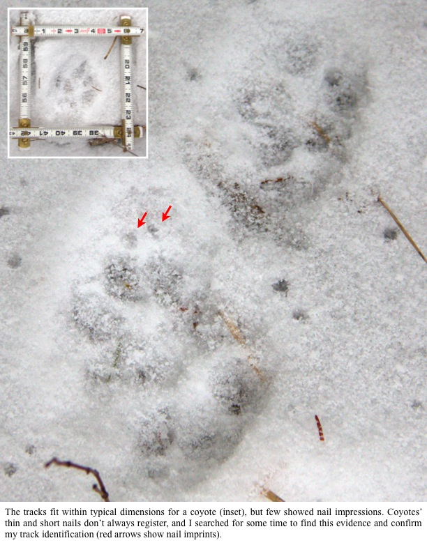 The tracks fit within typical dimensions for a coyote (inset), but few showed nail impressions. Coyotes' thin and short nails don't always register, and I searched for some time to find this evidence and confirm my track identification (red arrows show nail imprints).