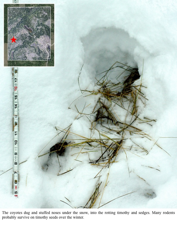 The coyotes dug and stuffed noses under the snow, into the rotting timothy and sedges. Many rodents probably survive on timothy seeds over the winter.