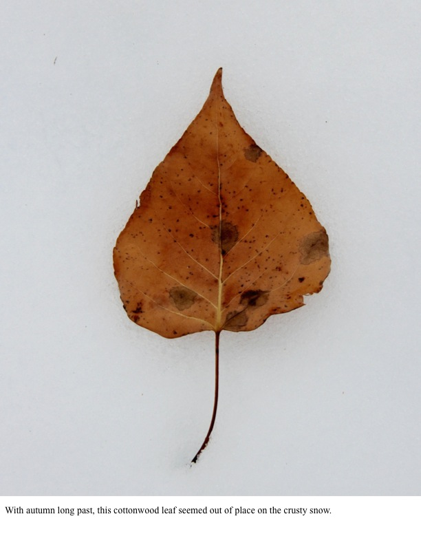 With autumn long past, this cottonwood leaf seemed out of place on the crusty snow.