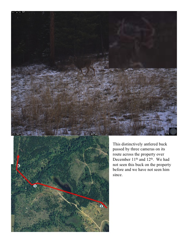 This distinctively antlered buck passed by three cameras on its route across the property over December 11th and 12th. We had not seen this buck on the property before and we have not seen him since.