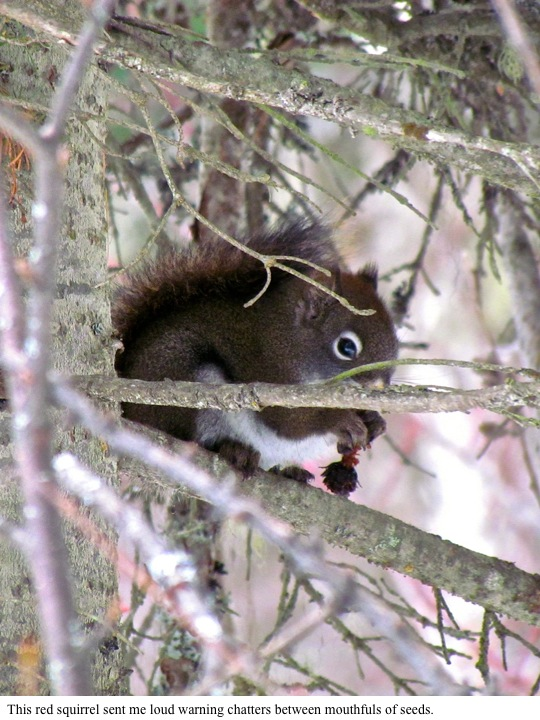 This red squirrel sent me loud warning chatters between mouthfuls of seeds.