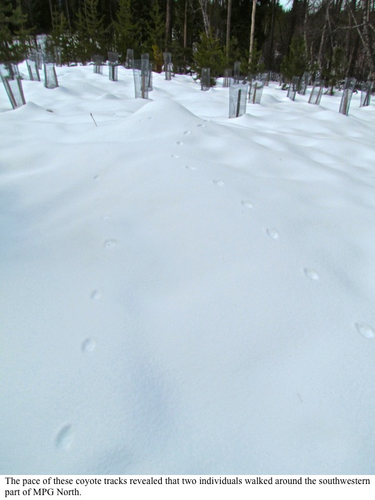 The pace of these coyote tracks revealed that two individuals walked around the southwestern part of MPG North.