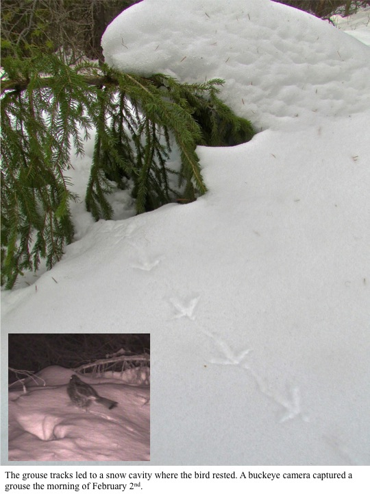 The grouse tracks led to a snow cavity where the bird rested. A buckeye camera captured a grouse the morning of February 2nd.