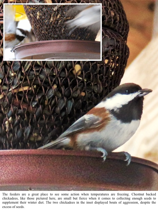 The feeders are a great place to see some action when temperatures are freezing. Chestnut backed chickadees, like those pictured here, are small but fierce when it comes to collecting enough seeds to supplement their winter diet. The two chickadees in the inset displayed bouts of aggression, despite the excess of seeds.