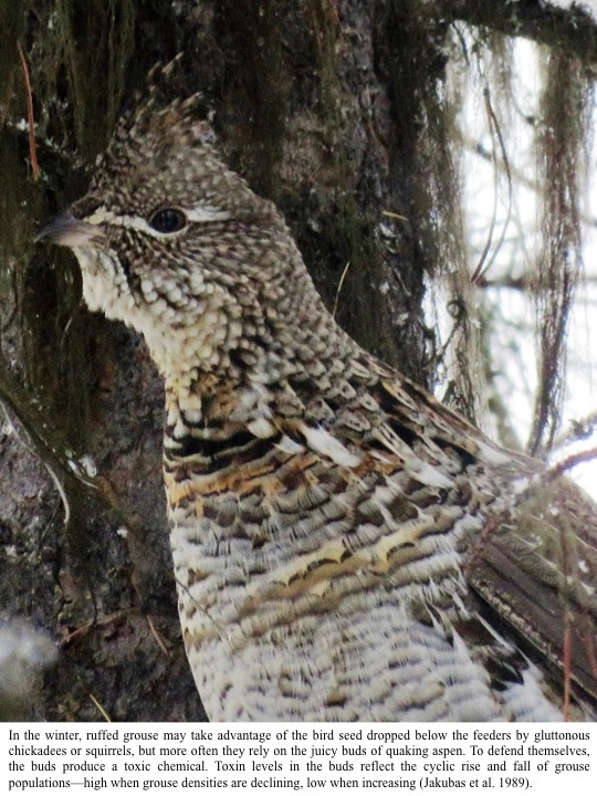 In the winter, ruffed grouse may take advantage of the bird seed dropped below the feeders by gluttonous chickadees or squirrels, but more often they rely on the juicy buds of quaking aspen. To defend themselves, the buds produce a toxic chemical. Toxin levels in the buds reflect the cyclic rise and fall of grouse populations—high when grouse densities are declining, low when increasing (Jakubas et al. 1989)