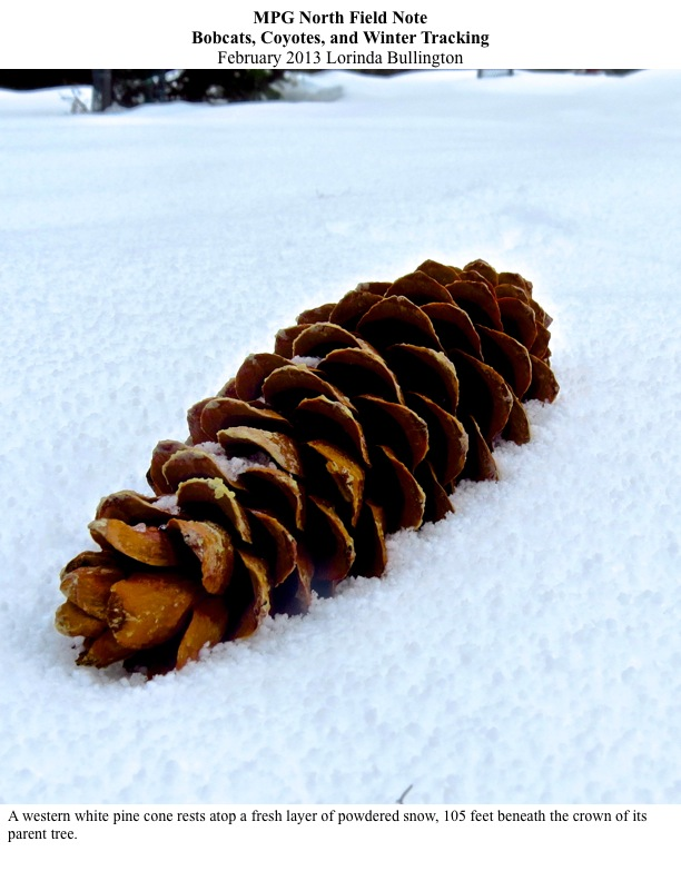MPG North Field Note Bobcats, Coyotes, and Winter Tracking February 2013 Lorinda Bullington A western white pine cone rests atop a fresh layer of powdered snow, 105 feet beneath the crown of its parent tree.