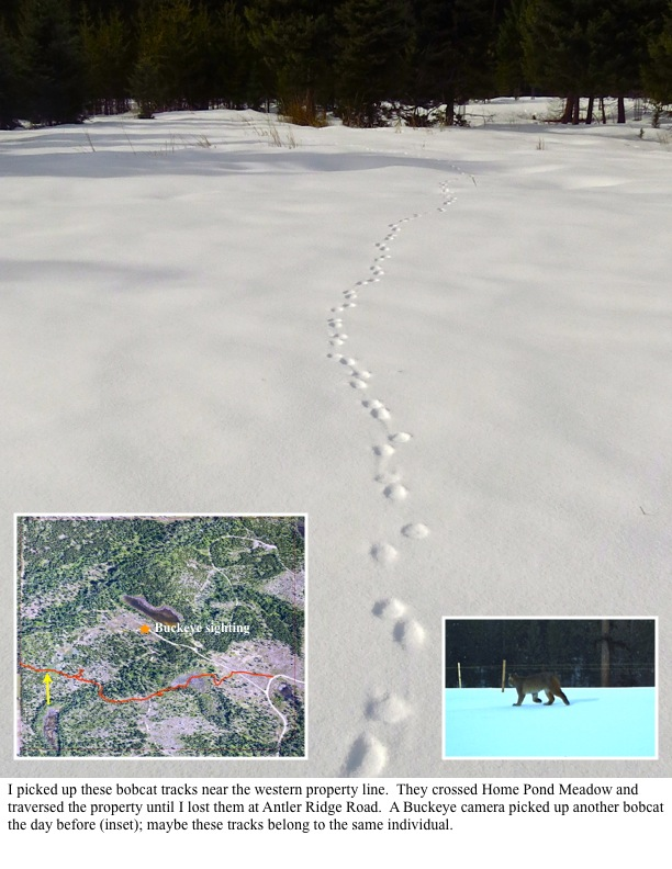 I picked up these bobcat tracks near the western property line. They crossed Home Pond Meadow and traversed the property until I lost them at Antler Ridge Road. A Buckeye camera picked up another bobcat the day before (inset); maybe these tracks belong to the same individual.