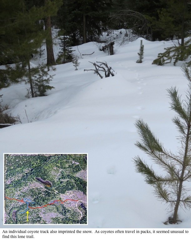 An individual coyote track also imprinted the snow. As coyotes often travel in packs, it seemed unusual to find this lone trail.