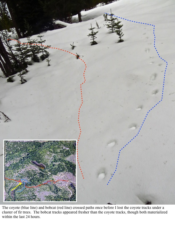 The coyote (blue line) and bobcat (red line) crossed paths once before I lost the coyote tracks under a cluster of fir trees. The bobcat tracks appeared fresher than the coyote tracks, though both materialized within the last 24 hours.