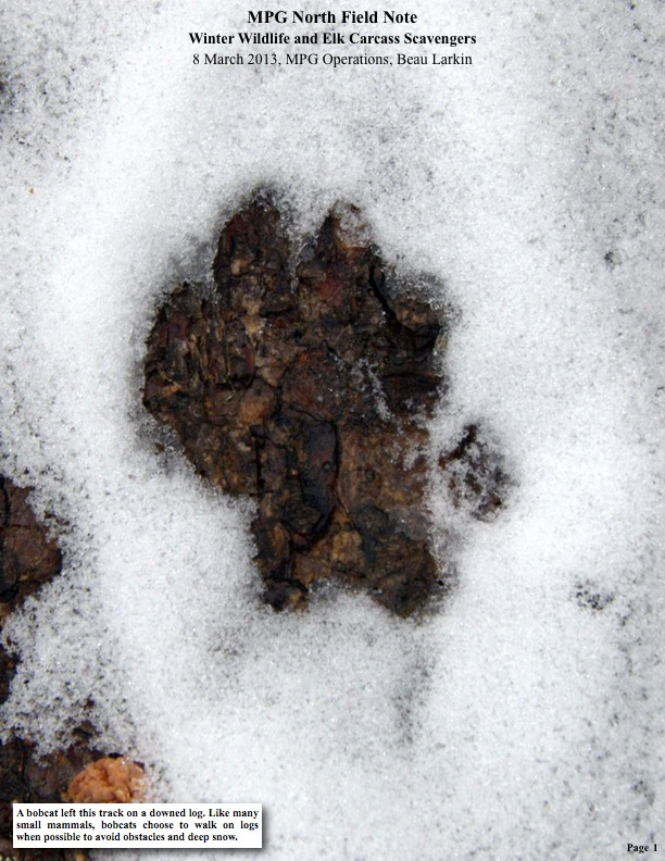 A bobcat left this track on a downed log. Like many small mammals, bobcats choose to walk on logs when possible to avoid obstacles and deep snow.