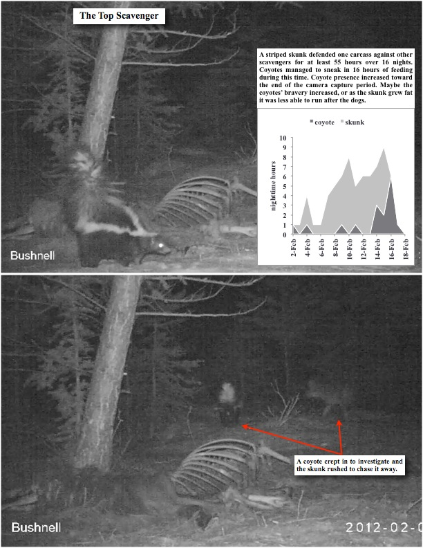 A striped skunk defended one carcass against other scavengers for at least 55 hours over 16 nights. Coyotes managed to sneak in 16 hours of feeding during this time. Coyote presence increased toward the end of the camera capture period. Maybe the coyotes' bravery increased, or as the skunk grew fat it was less able to run after the dogs.