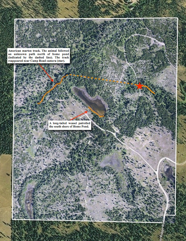 American marten track. The animal followed an unknown path north of home pond (indicated by the dashed line). The track reappeared near Camp Road camera (star)., long-tailed weasel.