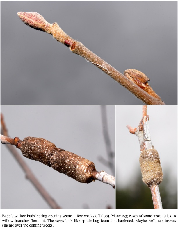 Bebb's willow buds' spring opening seems a few weeks off (top). Many egg cases of some insect stick to willow branches (bottom). The cases look like spittle bug foam that hardened. Maybe we'll see insects emerge over the coming weeks.