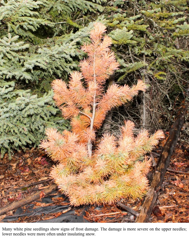 Many white pine seedlings show signs of frost damage. The damage is more severe on the upper needles; lower needles were more often under insulating snow.