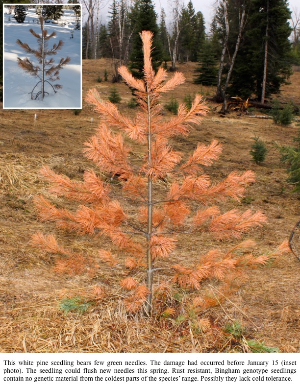 This white pine seedling bears few green needles. The damage had occurred before January 15 (inset photo). The seedling could flush new needles this spring. Rust resistant, Bingham genotype seedlings contain no genetic material from the coldest parts of the species' range. Possibly they lack cold tolerance.