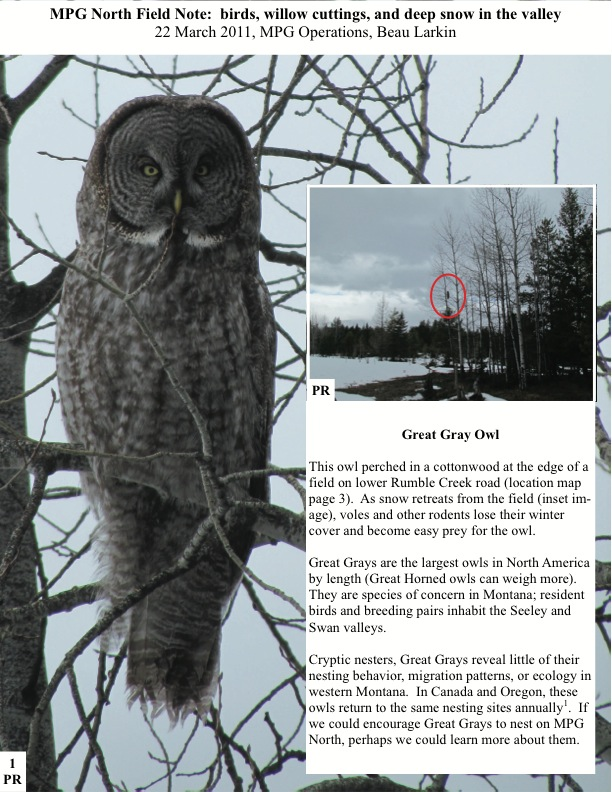 MPG North Field Note: birds, willow cuttings, and deep snow in the valley 22 March 2011, MPG Operations, Beau Larkin Great Gray Owl This owl perched in a cottonwood at the edge of a field on lower Rumble Creek road (location map page 3). As snow retreats from the field (inset im- age), voles and other rodents lose their winter cover and become easy prey for the owl.