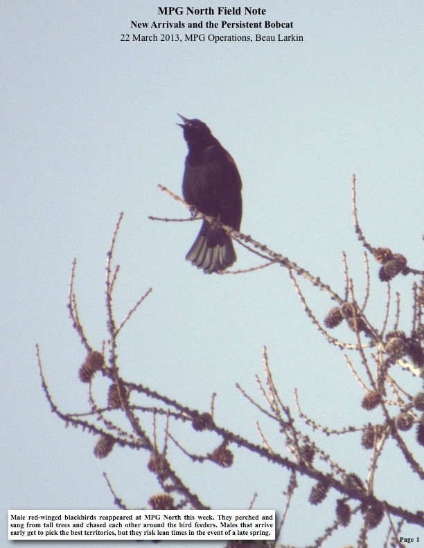 Male red-winged blackbirds reappeared at MPG North this week. They perched and sang from tall trees and chased each other around the bird feeders.