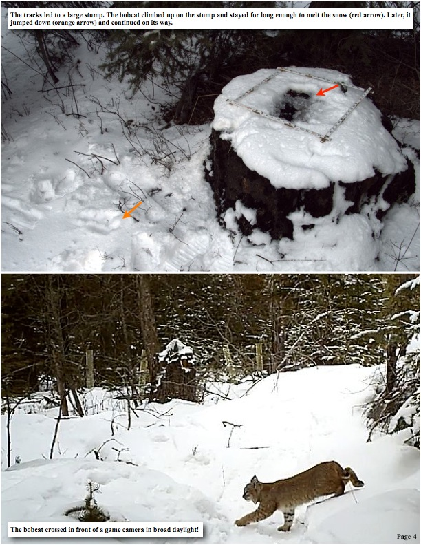 The tracks led to a large stump. The bobcat climbed up on the stump and stayed for long enough to melt the snow (red arrow). Later, it jumped down (orange arrow) and continued on its way.