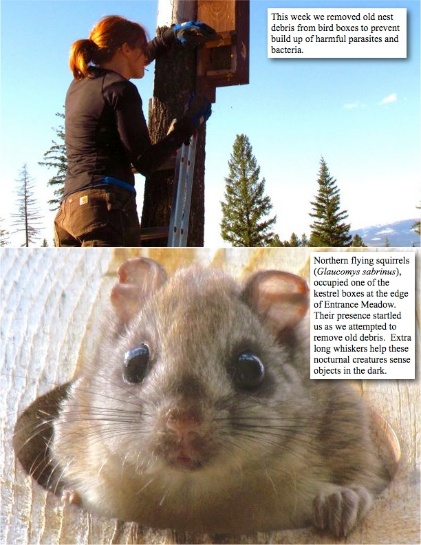 This week we removed old nest debris from bird boxes to prevent build up of harmful parasites and bacteria. northern flying squirrels