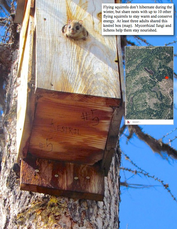 Flying squirrels don't hibernate during the winter, but share nests with up to 10 other flying squirrels to stay warm and conserve energy. At least three adults shared this kestrel box (map). Mycorrhizal fungi and lichens help them stay nourished.