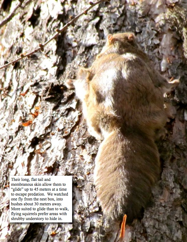 """Their long, flat tail and membranous skin allow them to """"glide"""" up to 45 meters at a time to escape predation. We watched one fly from the nest box, into bushes about 30 meters away. More suited to glide than to walk, flying squirrels prefer areas with shrubby understory to hide in."""
