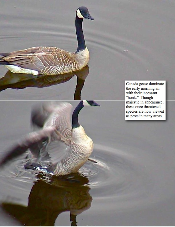 """Canada geese dominate the early morning air with their incessant """"honk."""" Though majestic in appearance, these once threatened species are now viewed as pests in many areas."""